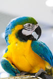 Macaw blue and yellow color. Beautiful tropical macaw blue and yellow color exotic royalty free stock images