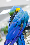 Macaw blue and yellow color. Beautiful tropical macaw blue and yellow color exotic stock photography