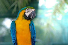 Macaw. Blue-and-yellow macaw Stand on a branch with bokeh  background Stock Images