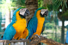 Macaw. Blue-and-yellow macaw Stand on a branch with bokeh  background Stock Photos