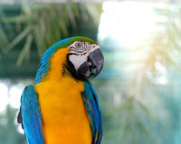 Macaw. Blue-and-yellow macaw Stand on a branch with bokeh  background Royalty Free Stock Photo