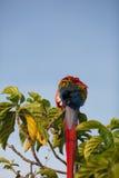 Macaw bonito fotografia de stock