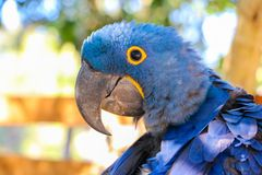 Macaw brésilien Photos stock