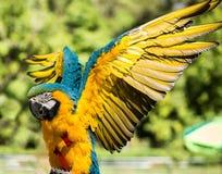 Macaw brésilien Photographie stock libre de droits