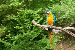 Macaw on the branch royalty free stock images