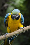 Macaw on a Branch Royalty Free Stock Photos