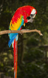 Macaw on a branch. A red macaw on a branch grooming itself Royalty Free Stock Images