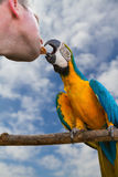 Macaw and breeder birds. Royalty Free Stock Image