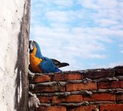 Macaw in brick wall. Beautiful blue macaw on a brick wall Stock Images