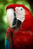 Macaw carmesí Fotografía de archivo