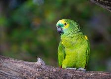 Macaw che si siede sulla filiale Fotografia Stock Libera da Diritti