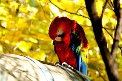 Macaw cleaning itself Stock Images