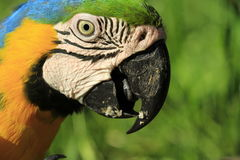 Macaw Close-Up Royalty Free Stock Photo