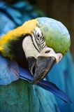 Macaw Royalty Free Stock Photos
