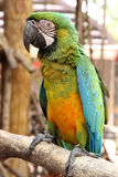 A Macaw Royalty Free Stock Image