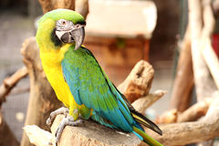 A Macaw Royalty Free Stock Photography