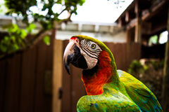 Macaw closeup Stock Photography