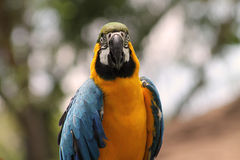Macaw closeup Royalty Free Stock Photography