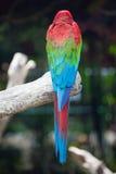 Macaw coloré image libre de droits