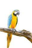 Macaw coloré sur l'arbre Photographie stock libre de droits