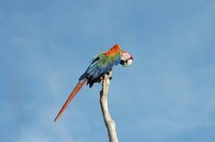Macaw Colorful Plumage - Venezuela. Macaw Colorful Plumage in Venezuela Royalty Free Stock Images