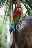 Macaw colorido Foto de Stock Royalty Free