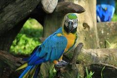 Macaw colorido Fotos de archivo