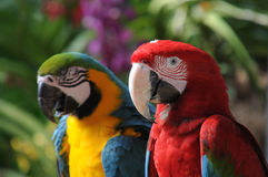 Macaw colorido Imagem de Stock Royalty Free