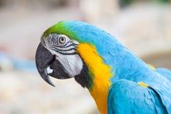 Macaw colorido Foto de archivo libre de regalías
