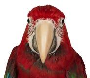 Macaw colorido aislado en el fondo blanco Fotos de archivo