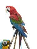 Macaw colorido del loro aislado en el fondo blanco Imagenes de archivo