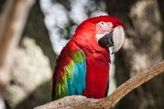 Macaw colorido en el parque zoológico Foto de archivo libre de regalías
