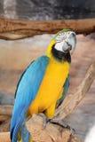 Macaw colorido en rama de árbol Foto de archivo libre de regalías