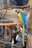 Macaw colorido en rama de árbol Imagenes de archivo