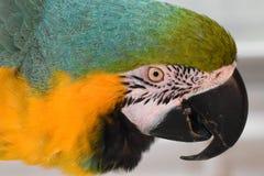 Macaw contento del azul y del oro Fotografía de archivo