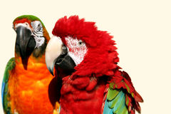 Macaw couple 2 Royalty Free Stock Photo
