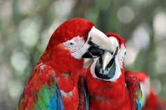 Macaw couple playing. A pair of macaw with vivid color in red and blue. shown as beautiful life on earth, and love or friend relationship Royalty Free Stock Photography