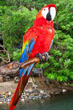 Macaw d'écarlate été perché Photo stock