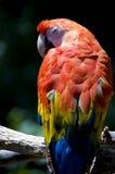 Macaw d'écarlate Photos libres de droits