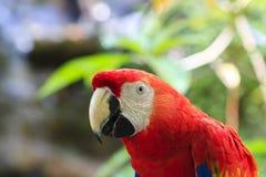 Macaw d'écarlate photographie stock