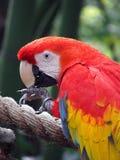 Macaw d'écarlate Photos stock