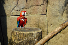 Macaw d'écarlate, Ara Macao Image libre de droits