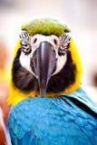 Macaw d'écarlate sur la perche. Bonjour perroquet. Image libre de droits