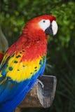 Macaw d'écarlate Image libre de droits