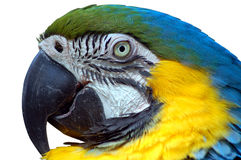 Macaw d'isolement Images libres de droits