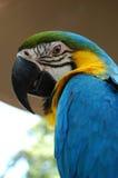 Macaw de bleu et d'or Photos libres de droits