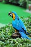 Macaw de bleu et d'or Photo libre de droits