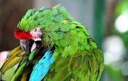 Macaw de bleu et d'or Image libre de droits