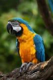 Macaw de bleu et d'or photos stock