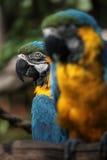 Macaw de bleu et d'or (Ara Ararauna) Photographie stock libre de droits